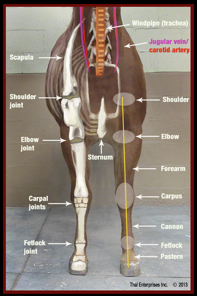 Swelling of Upper Front Limb or Leg - Horse Side Vet Guide