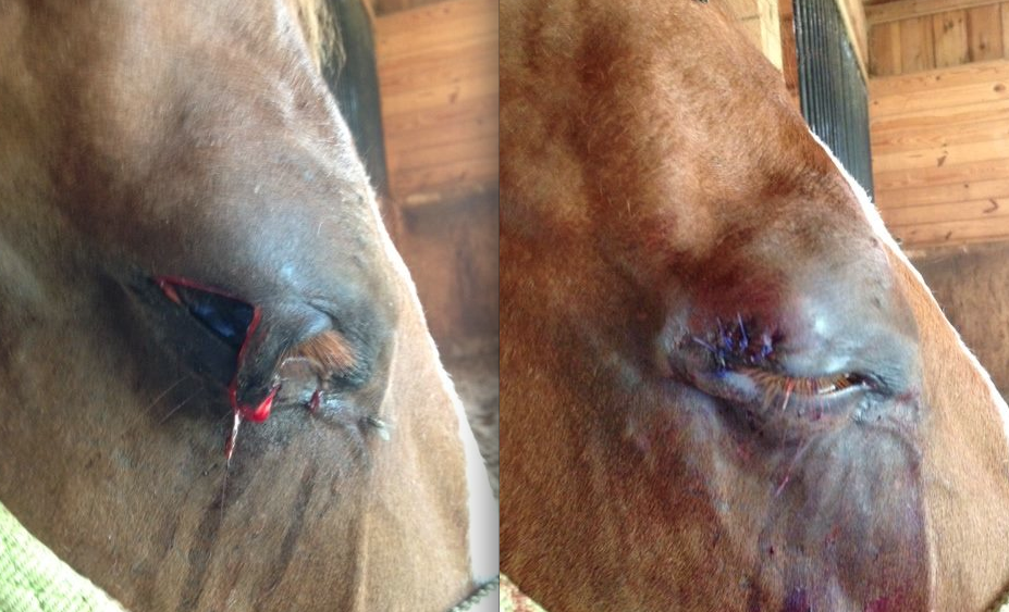 Eyelid Is Wounded Or Cut - Horse Side Vet Guide-6984