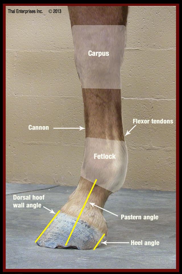 Lameness, Chronic Front Limb - Horse Side Vet Guide