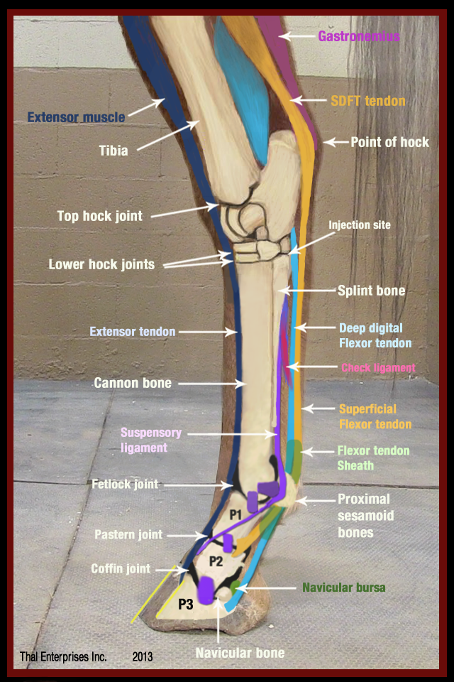 Single Lump Or Swelling On Lower Limb Or Leg Horse Side Vet Guide