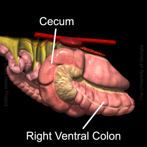 Cecal Disorders, Generally - Horse Side Vet Guide