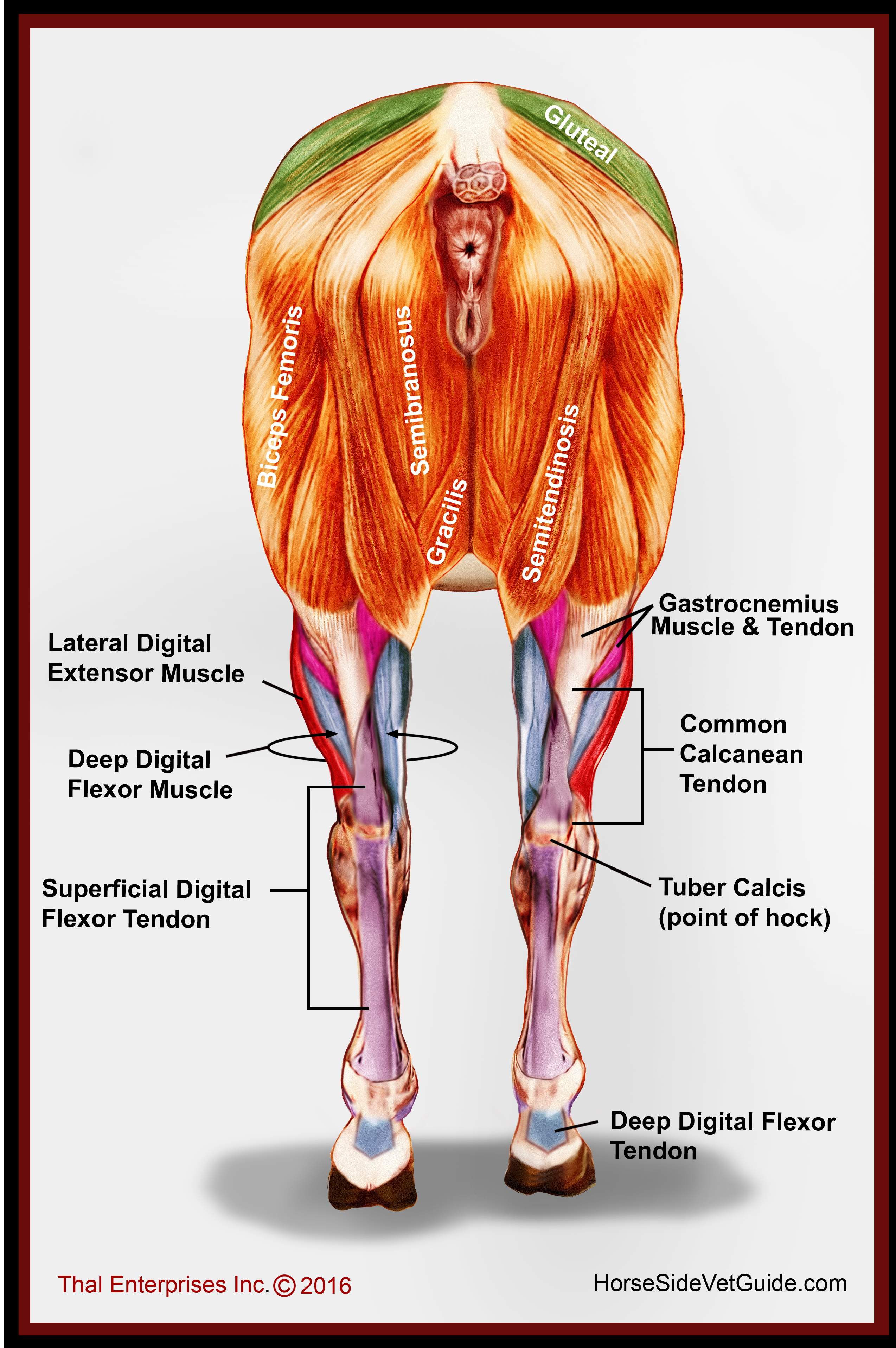 Superficial Hind Limb Muscles, Rear View - Horse Side Vet Guide
