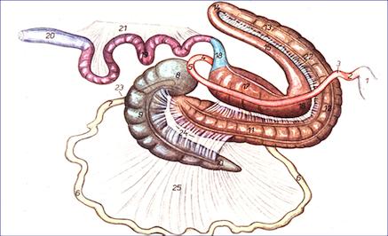Equine Intestinal Tract Image