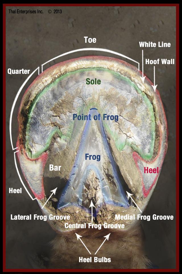 Vitals Amp Anatomy Horse Side Vet Guide