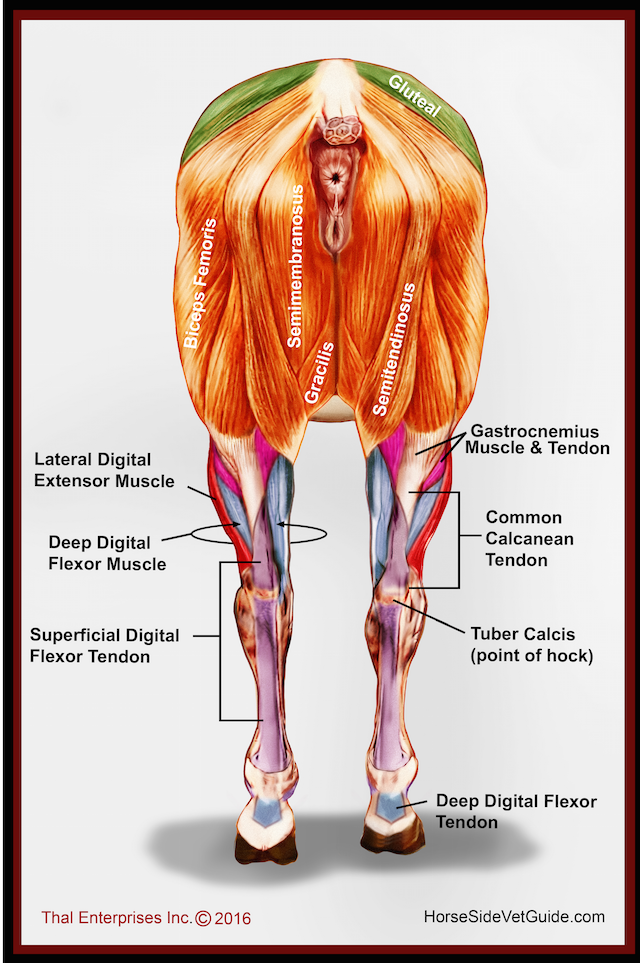 hind limb muscles rear final w:correction