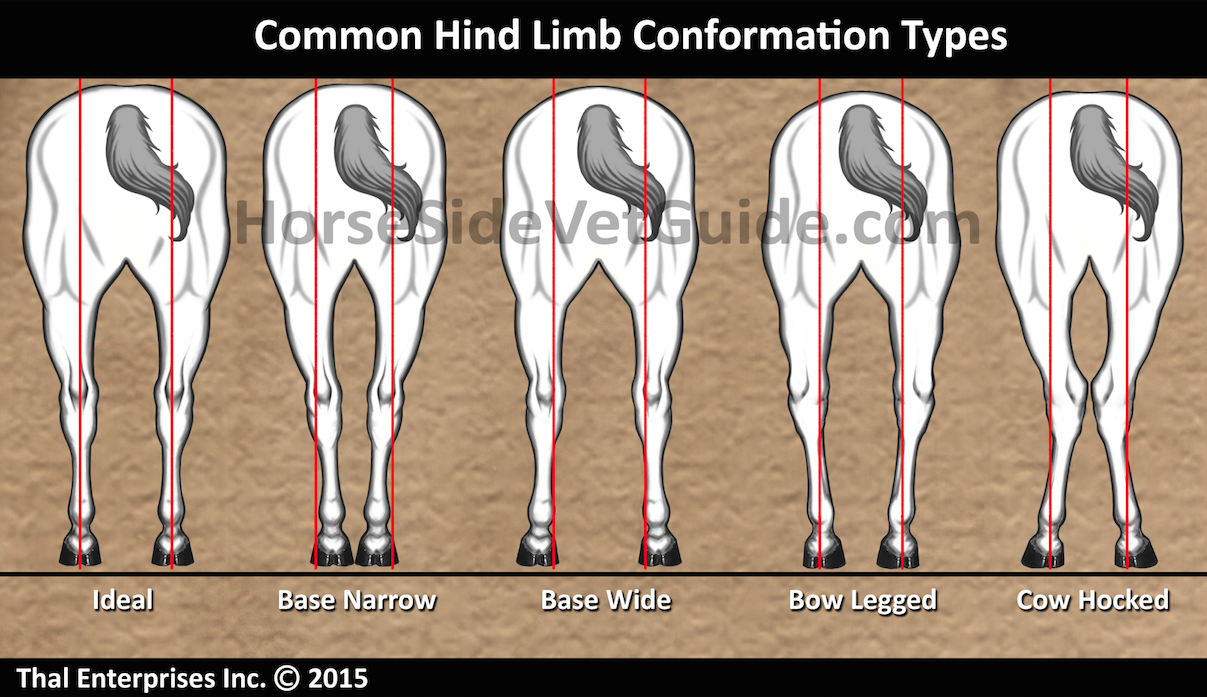 Hind Limb Conformation - Improved Sept 2015