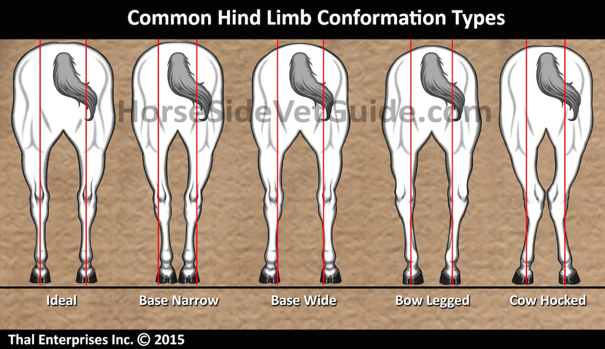 Hind Limb Conformation - Improved Sept 2015