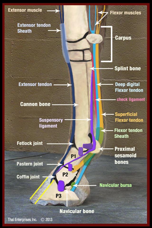 Understanding Navicular Syndrome Heel Pain In Horses
