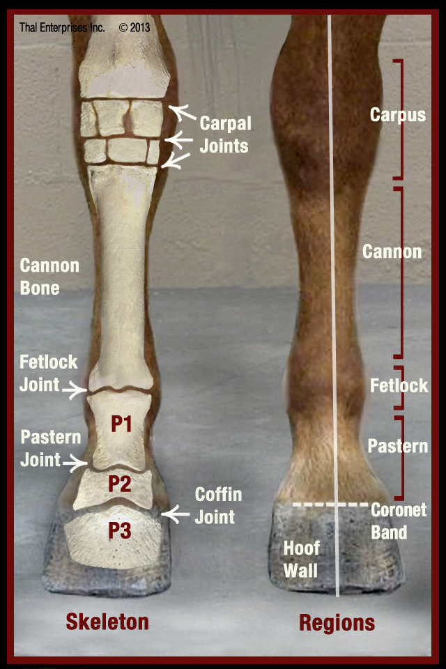 Final Qr Equine Lower Limbs From Front Horse Side Vet Guide