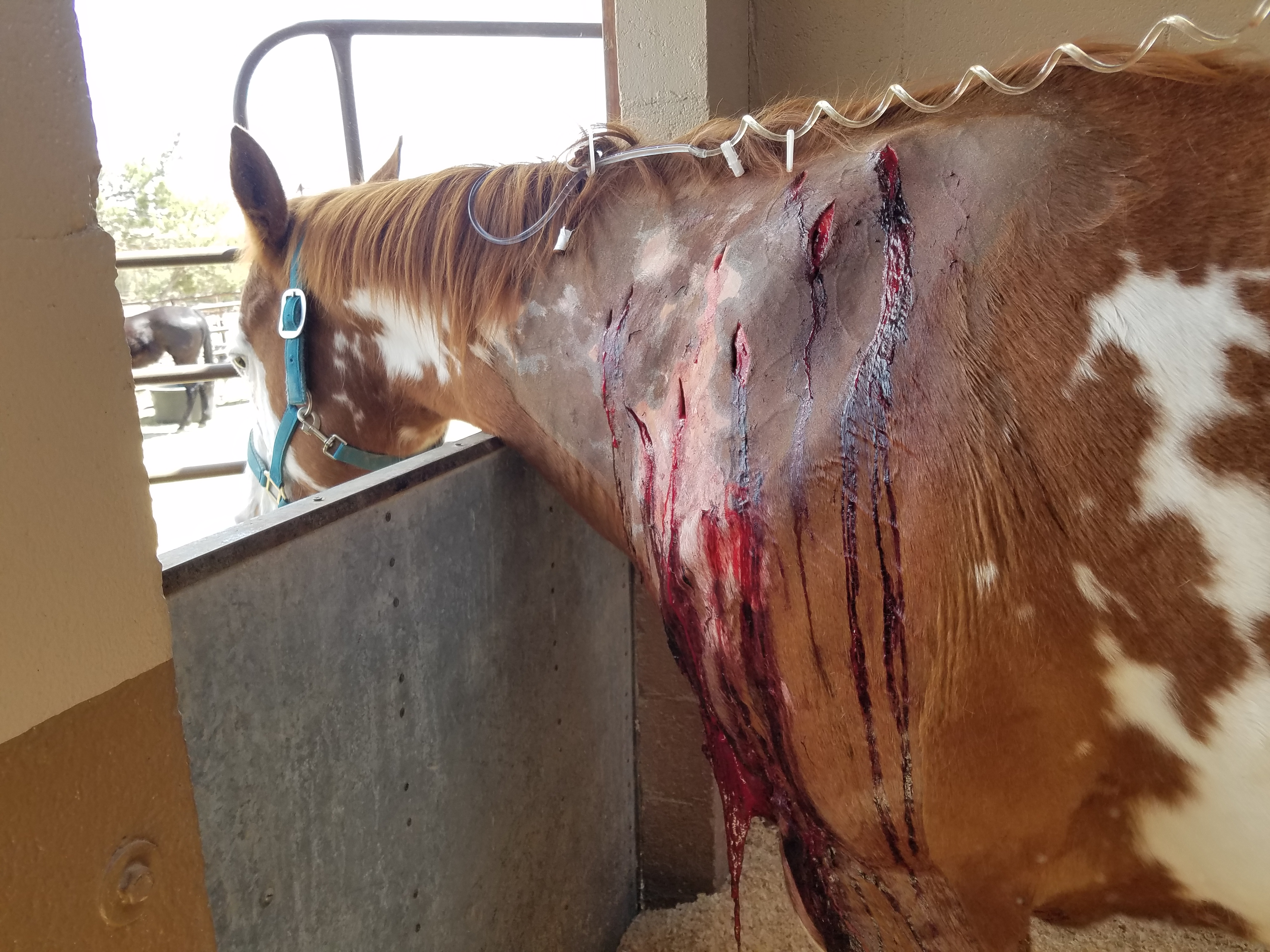 Injecting Your Horse Can Be Hazardous  Know the Risks!