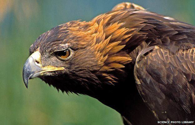 Golden Eagle- from http://www.bbc.com/news/uk-wales-north-east-wales-30812549