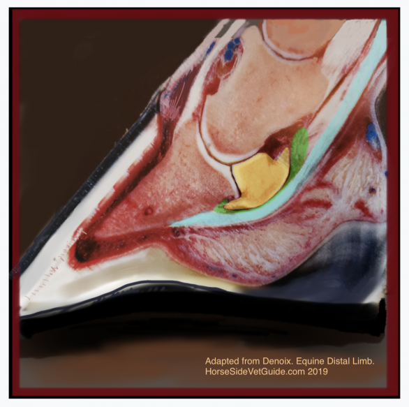 The cut section of a hoof, showing the important anatomy. Yellow- navicular bone, Green- navicular bursa, Turquoise- Deep Digital Flexor Tendon. The DDFT runs over bursa and bone and attaches on underside of P3. Image adapted from a photo in Denoix- The Distal Limb.