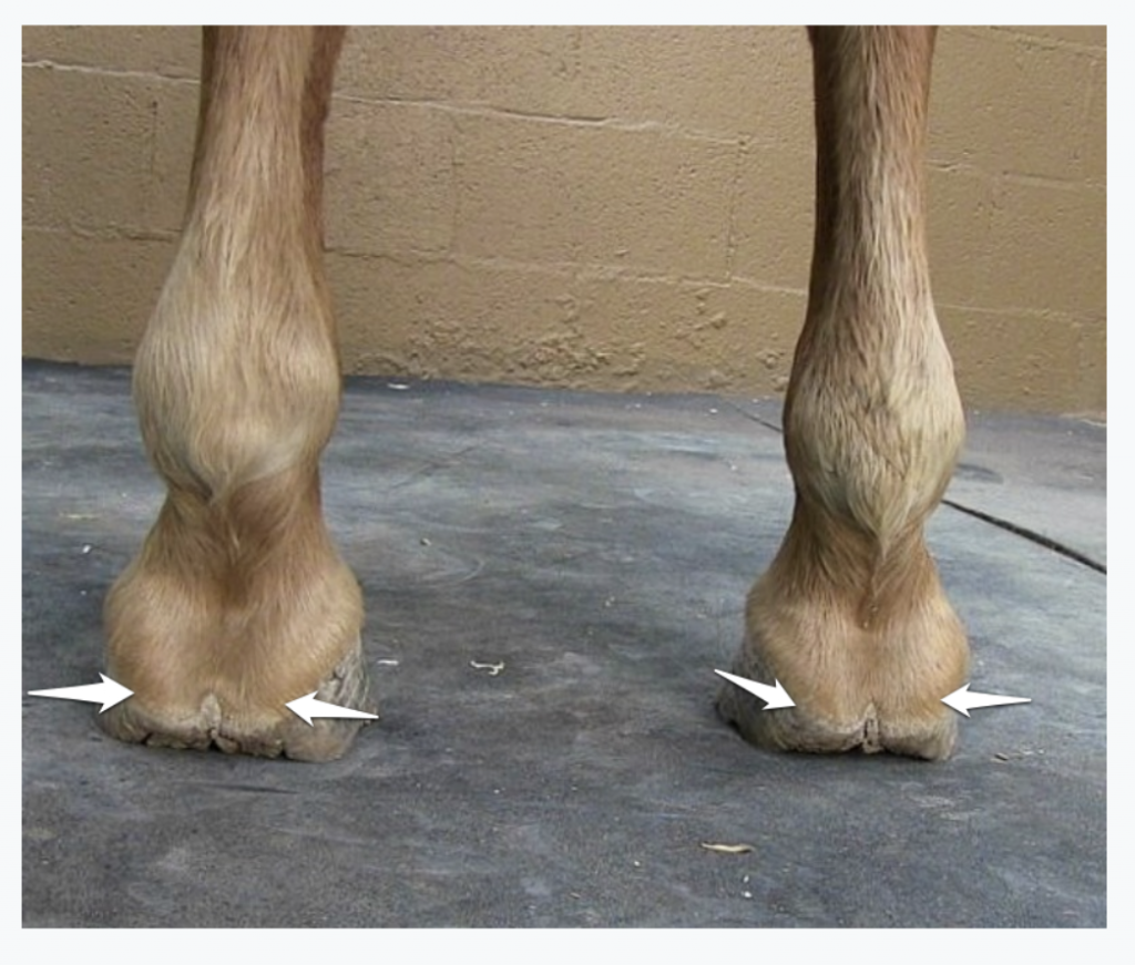 Viewing the front hooves from behind on a flat surface. This horse has inside and outside heels of each hoof that are roughly the same height, and the heel heights are also roughly same left to right.