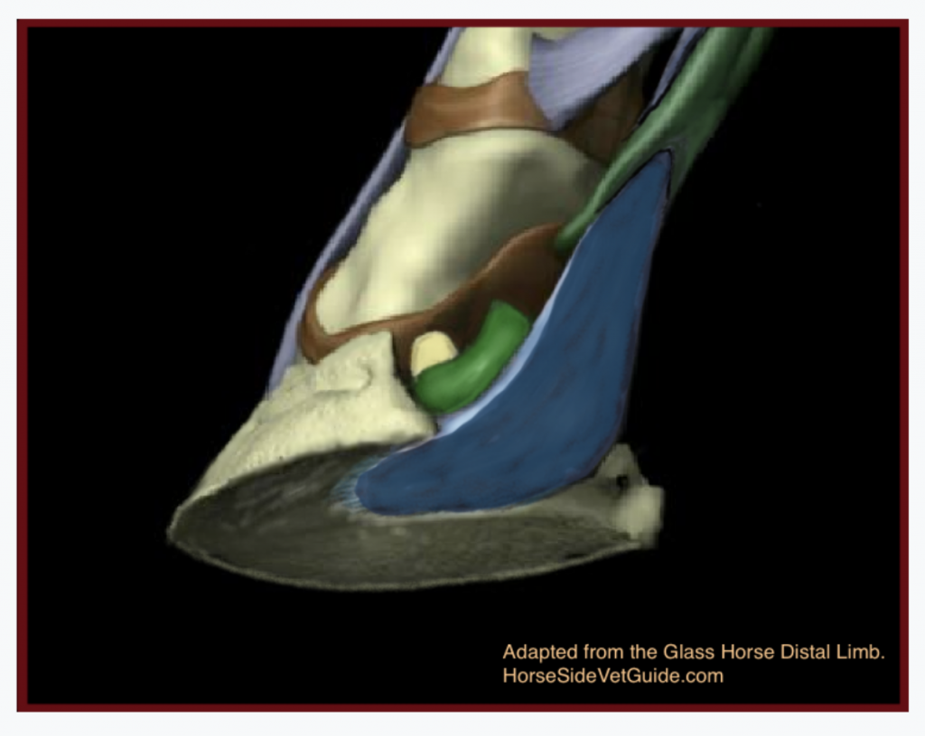 Looking from below, at the 8:00 position showing the DDFT (blue) attaching on P3 (Coffin bone), coursing over the bursa (green) and the navicular bone peeking out from behind (Yellow). Adapted from the Glass Horse Distal Limb.