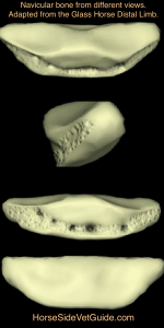 The navicular bone, as viewed from front, side, rear and from 60 degrees looking down.