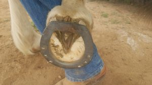 The roller motion bar shoe on the sole of the hoof.