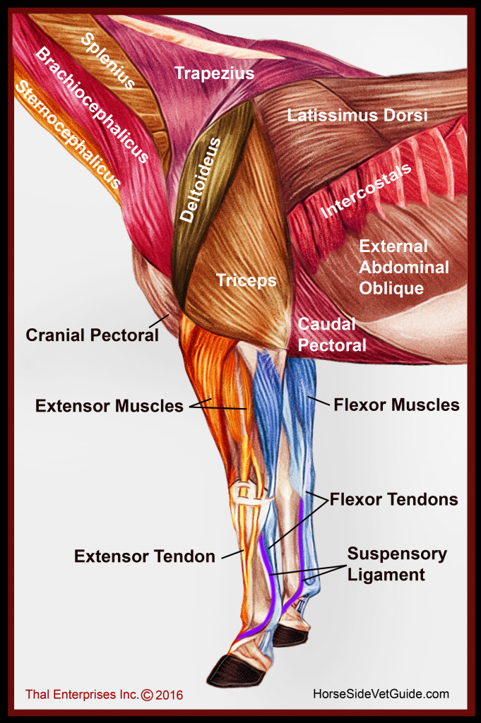 Front limb muscles from side FINAL WITH TYPO FIXED
